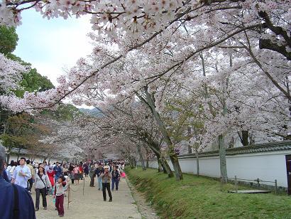 daigonohanami_0381