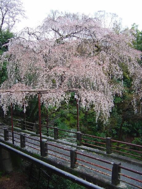 Sawashosakura_0021